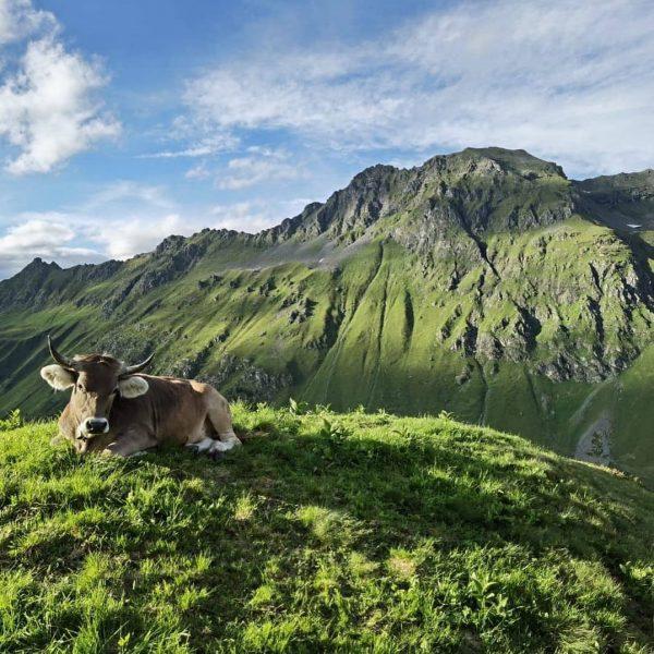 Die Alpe Vergalden in Gargellen sucht ab sofort für ihre Jungviehalpe einen Kleinhirten! ...