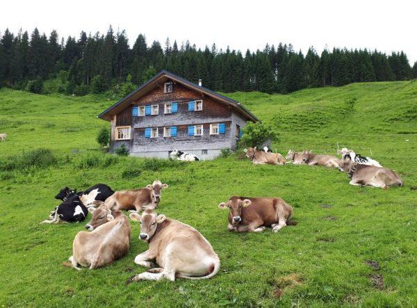 Glückliche Kühe #vorarlberg #bregenzerwald #schwarzenberg #klausbergvorsäss #cows #alp #wanderlust Bregenzerwald