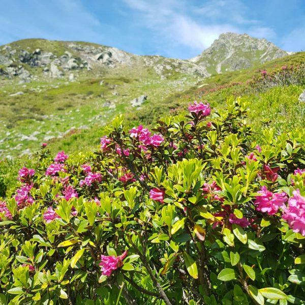 Alpenrosen 🌺 #alpenrose #natur #naturephotography #nature #lieberdraussen #outdoor #landschaftsfotografie #landschaft #landscape #blumenwiese #blumen ...