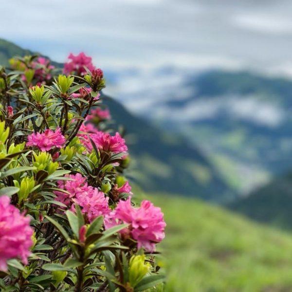 Die Schönheit der Natur 💕 #almrosen #naturzeit #natur #kleinwalsertal #wanderbareskleinwalsertal #mittelberg #altekrone #hotelaltekrone ...