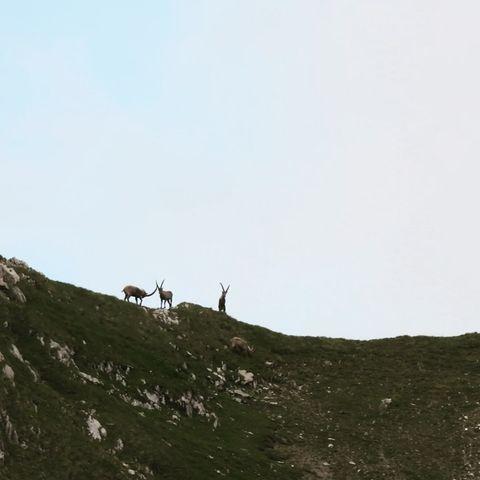 Pure Freude 😊 #wildlifephotography #wildlife #auroralech #nature #naturephotography #lechzürs #lechzuers #vorarlbergtourismus #jagdistleidenschaft #steinbock ...