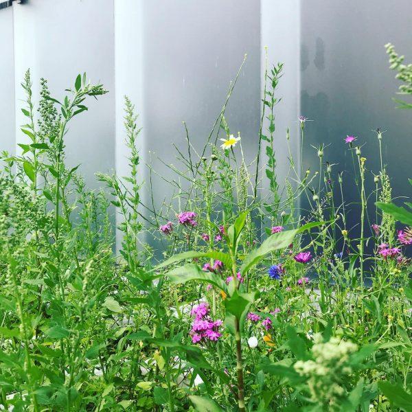 #loisweinberger #mobilergarten #kunsthausbregenz #kub #ruderals #weeds #green #glass #peterzumthor #july2021 Kunsthaus Bregenz