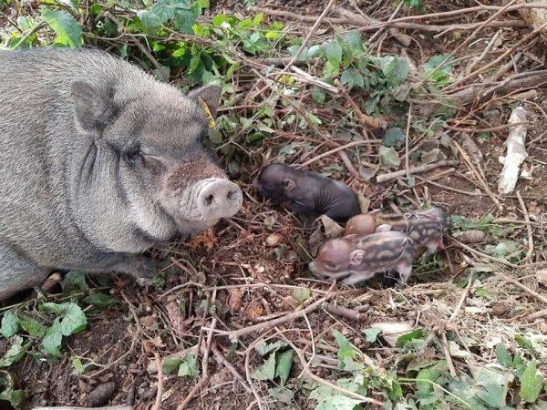 Im Wildpark gibt es wieder Nachwuchs Unser Minischwein Pauli ist seit Dienstag stolze ...