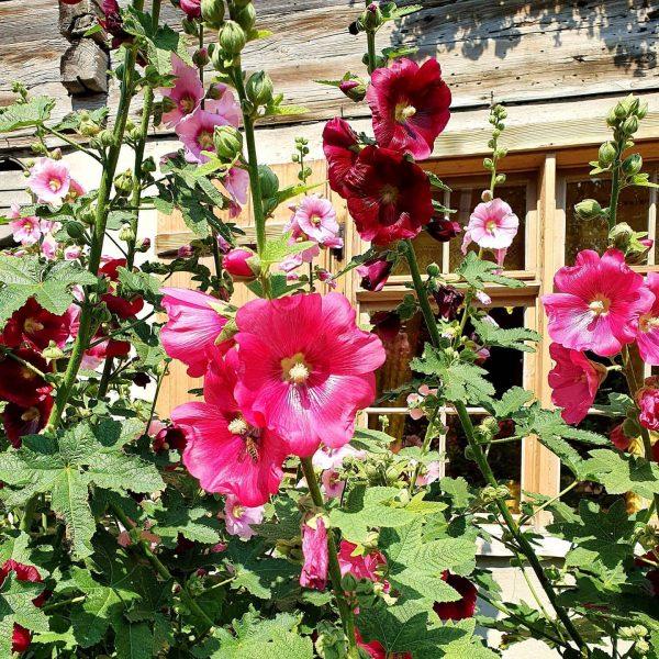 Lovely flowers #schwarzenbergbregenzerwald #stockrosen #vorarlberg Schwarzenberg im Bregenzerwald