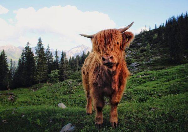 #kuhfoto #kürental #gottesacker #hoherifen #kleinwalsertal #austria #nature #cow #rind #highlandcattle #UPgehts #everybrownieneedsablondie #fröscheweinennie ...