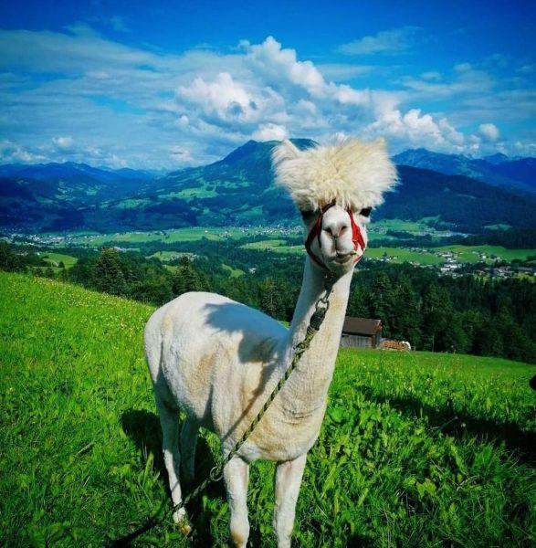 Auch bei den Tieren ist Schwarzenberg international.🌎 Die Alpakas stammen ursprünglich aus den ...