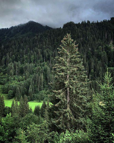 Vor dem #Gewitter… #Kleinwalsertal #Riezlern #Kiefern #Natur #Naturfotografie #Schnappschuss #Limelight #nature #pine #Alpen #Alps #outside #Wandern #hinking