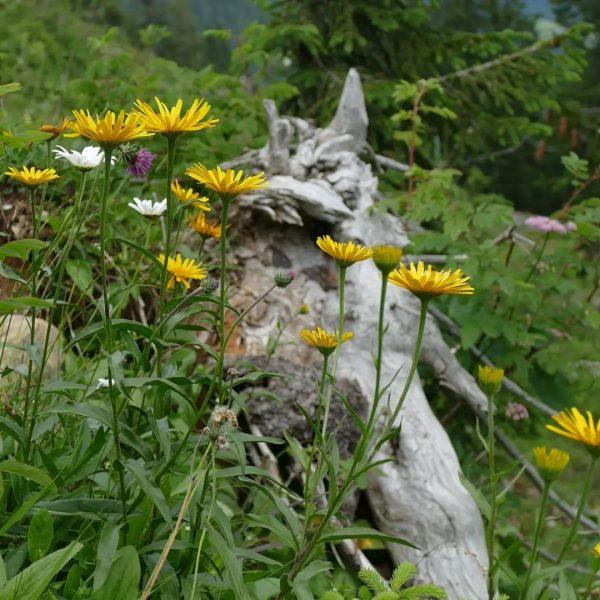 🌼Wir wünschen euch eine wunderschöne Woche🌼 🥾Naturnaher Wanderweg von der Ifenhütte zur Talstation⛰️ #hotelerlebach #kleinwalsertal_hotelerlebach #kleinwalsertal #riezlern...