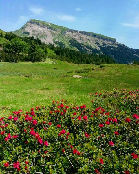 Alpenrosen Traum mit Blick auf den Hohen Ifen #alpenrosen #SchwarzwasserHütte #hoherifen #bregenzerwald #bregenzerwald_fan ...