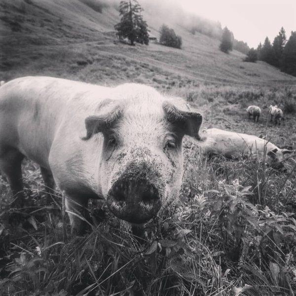Für alle, die bereits ein Fleisch-Vorratspaket von unseren Freiland-Weideschweinen bestellt haben, gibt's gute ...