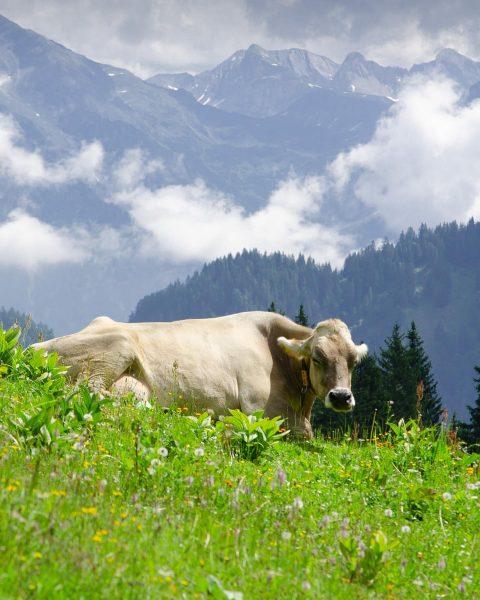 Bergtherapie ist nicht nur für Menschen, sondern auch für Kühe! . #brandnertal #egga ...