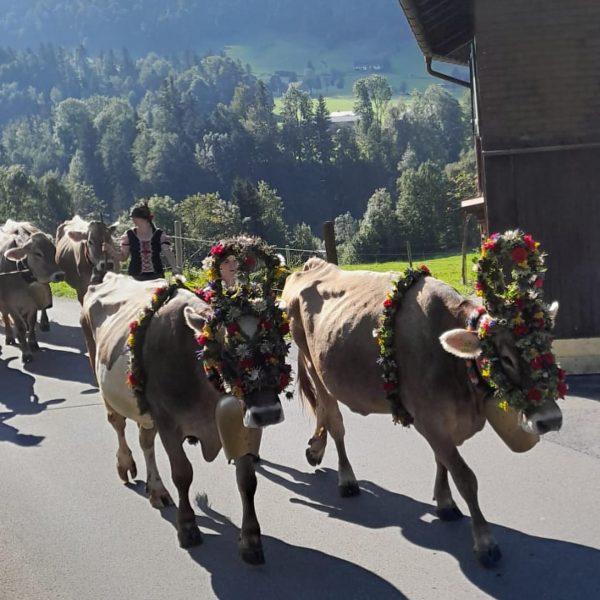 """""""Alpabtrieb in Hittisau"""" 👉 Dem wunderschönen, handgefertigten Blumenschmuck zufolge kehrt das gesamte Vieh ..."""