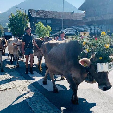 """Die """"Alpe Gerisgschwend"""" ⛰🐄👨🏻🌾 zieht heim auf ihren Hof nach Lingenau. Den Sommer ..."""