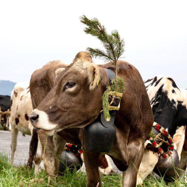 Servas! Alpabtrieb in Alberschwende.🐮 @stelzerroswitha #austria #photographer #bregenzerwald #alberschwende #alpabtrieb #visitaustria #cow #kuehe ...