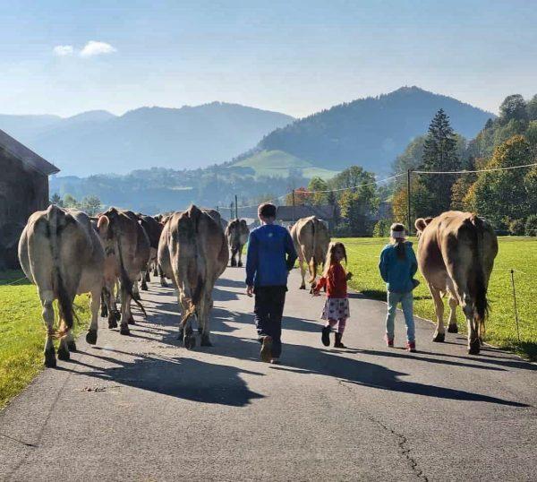 """""""Landwirtschaft in Hittisau"""" Abendspaziergang 👉 zur Melkzeit geht's von der Herbstweide 🍂🌾🐄☀️zurück in ..."""