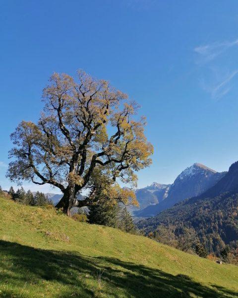 Beeindruckender Blick auf einen rund 400 Jahre alten Bergahorn. Gesamt sind sieben Stück ...